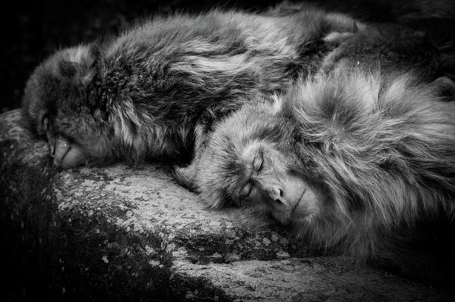 Monkey Photograph - Sleeping by Akihiro Shibata
