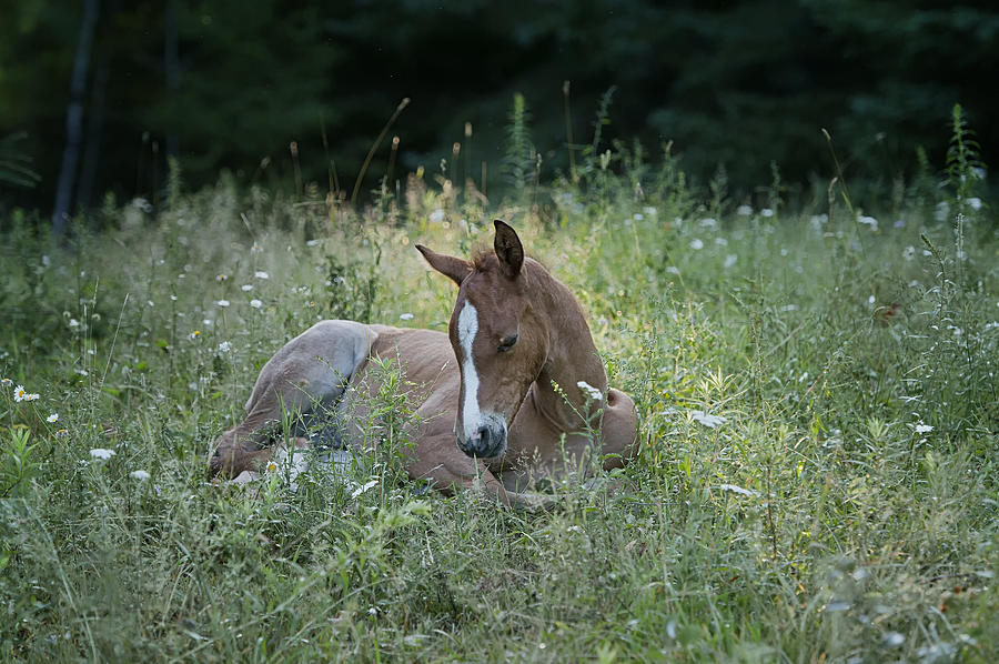 Rocky Mountain Horse Photograph - Sleeping Baby by Peter Lindsay