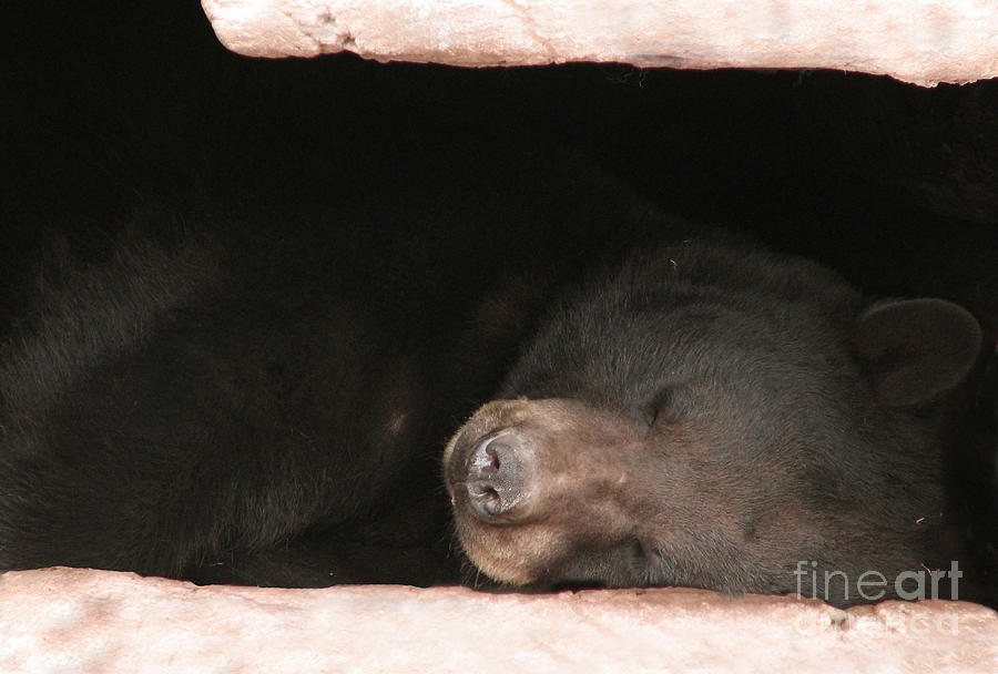 Sleeping Bear Photograph by Nancy TeWinkel Lauren