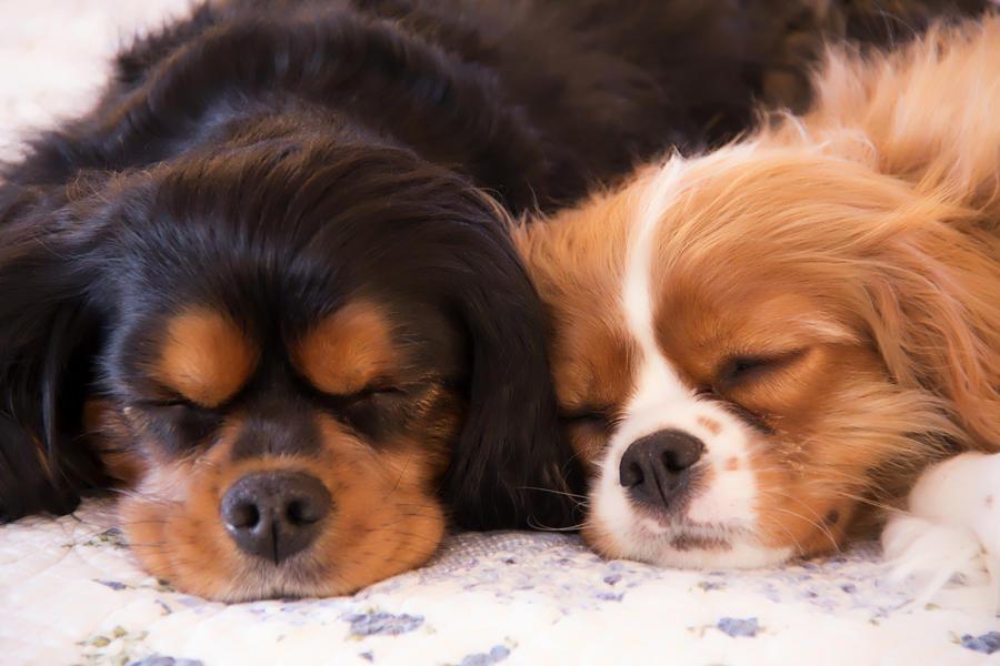 Cavalier King Charles Spaniels Photograph - Sleeping Cavalier King Charles Spaniels by Daphne Sampson