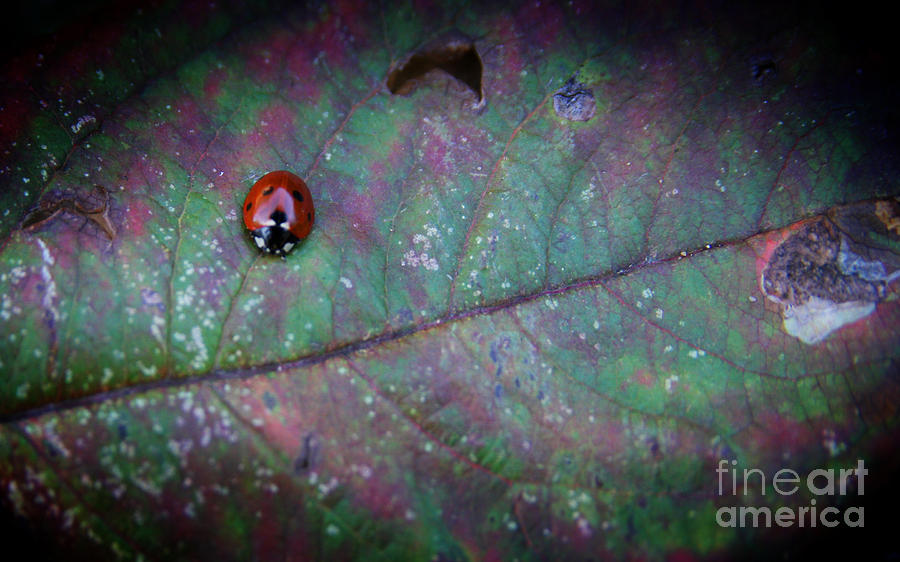 Sleeping Ladybird Photograph by Jolanta Meskauskiene