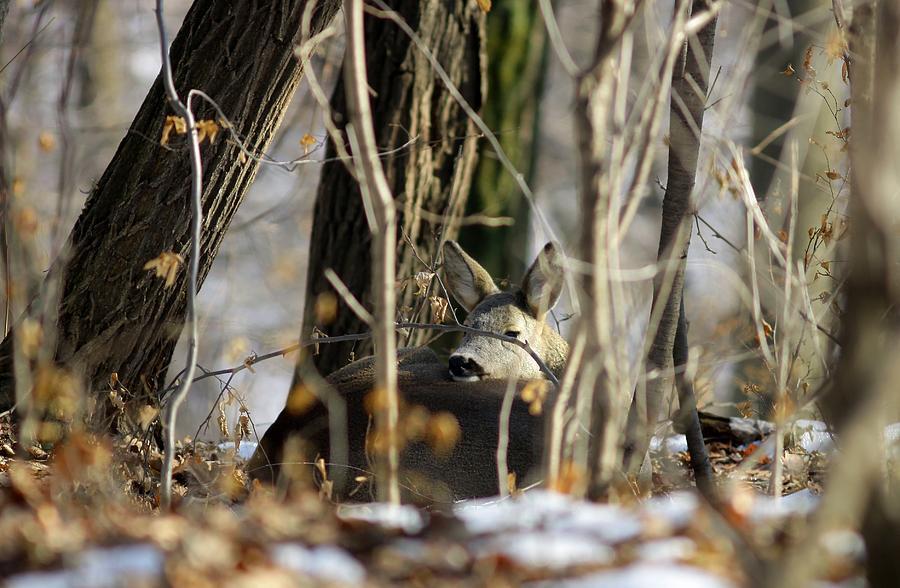 Sleeping Roe Deer Photograph - Sleeping Roe Deer by Dragomir Felix-bogdan