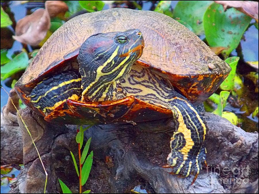 Turtle Photograph - Sleeping Turtle by Annette Allman