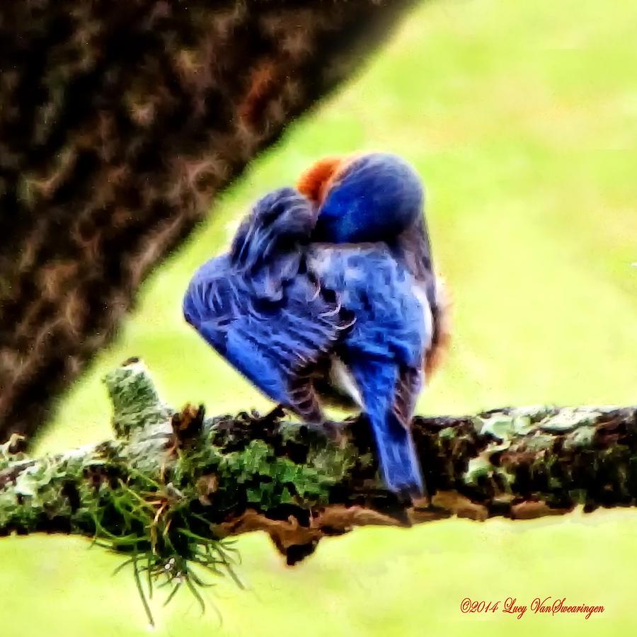 Bluebird Photograph - Sleepy Bluebird by Lucy VanSwearingen