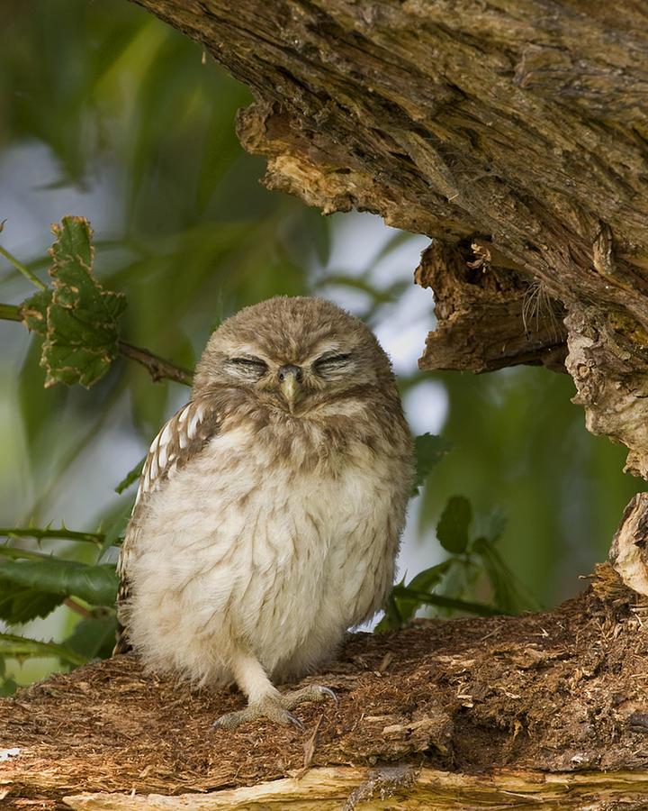 Sleepy Owl Photograph By Paul Scoullar