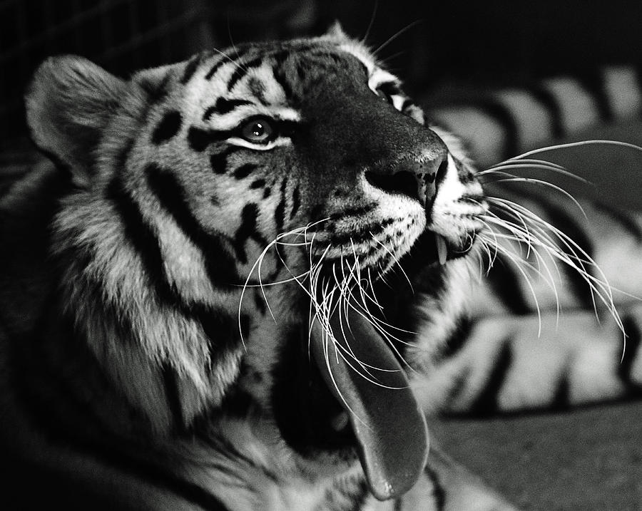 Sleepy Tiger Photograph