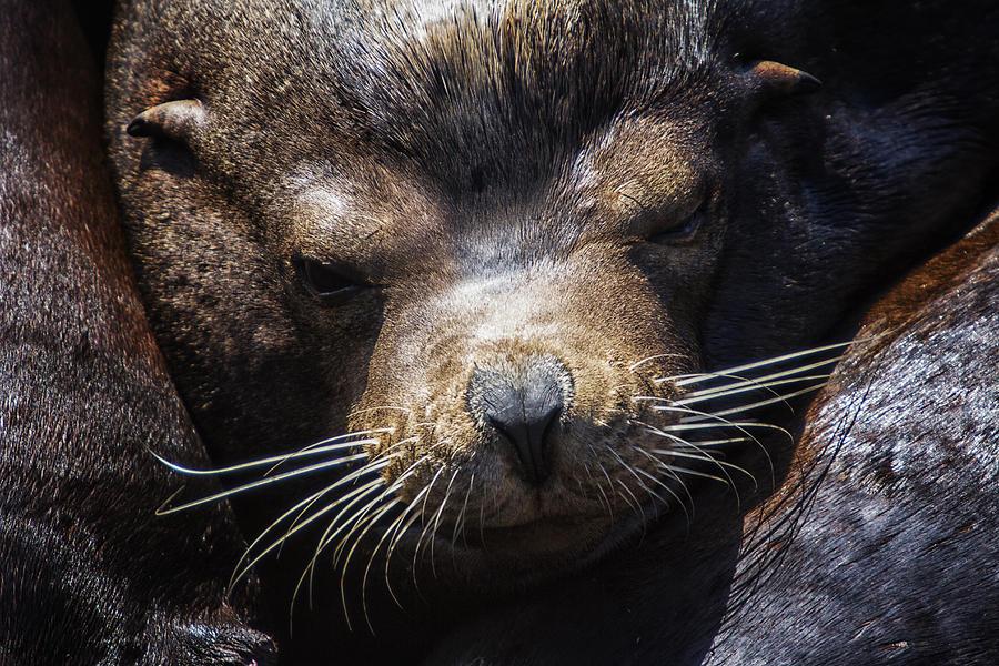 Sleepyhead Sea Lion Photograph
