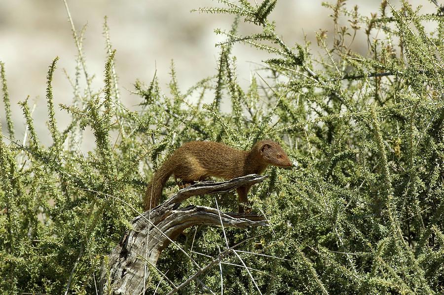 Slender Mongoose Photograph - Slender Mongoose by Tony Camacho/science Photo Library
