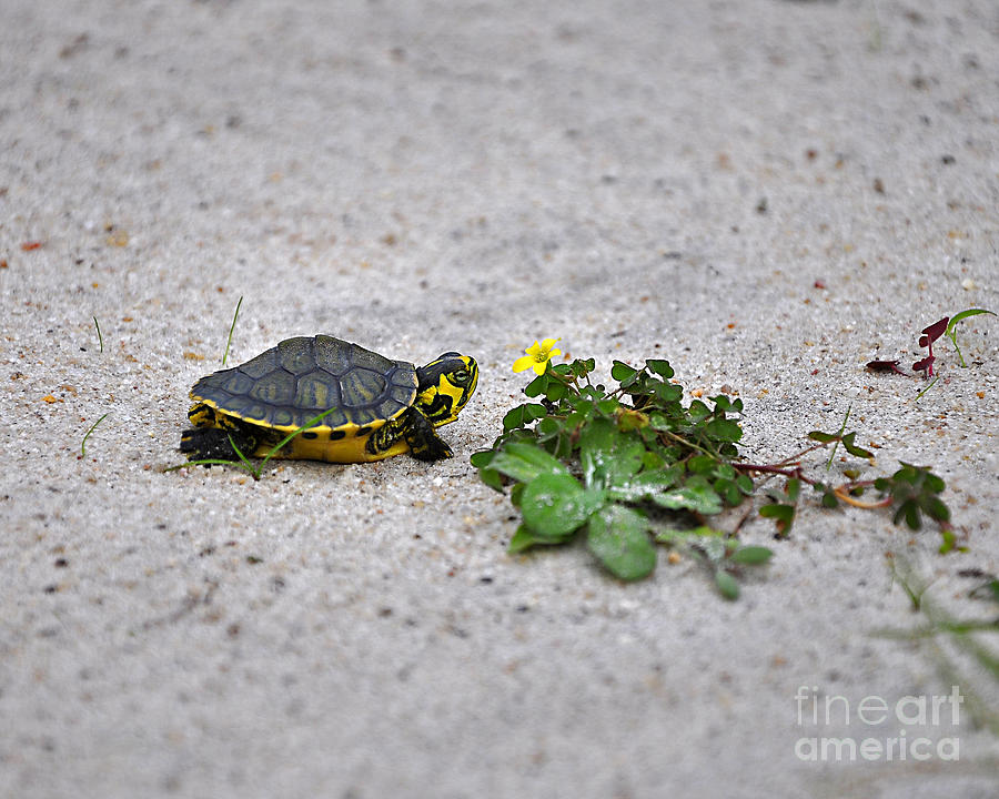 Turtle Photograph - Slider And Sorrel In Sand by Al Powell Photography USA