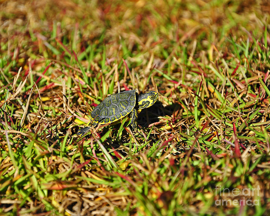 Turtle Photograph - Slider To Go by Al Powell Photography USA