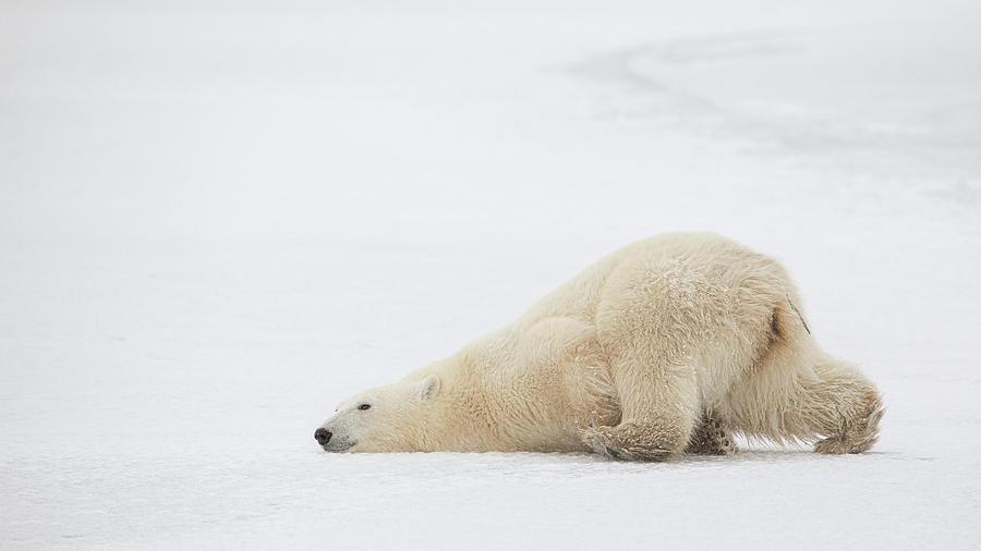 Polar Beer Photograph - Sliding Bear by Alessandro Catta