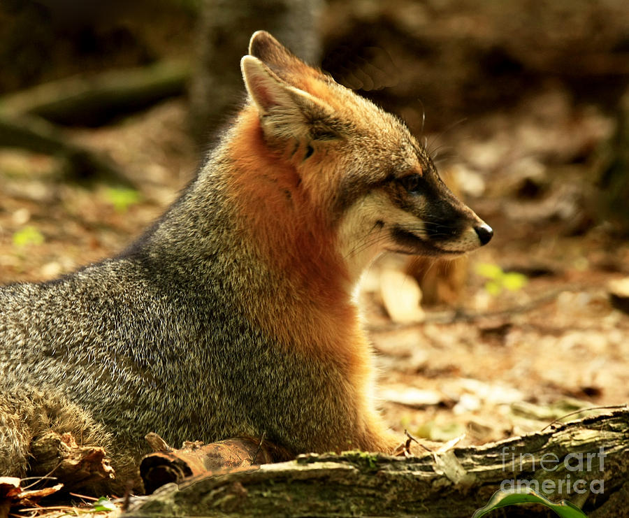 Sly Photograph - Sly Rare Grey Fox  by Inspired Nature Photography Fine Art Photography