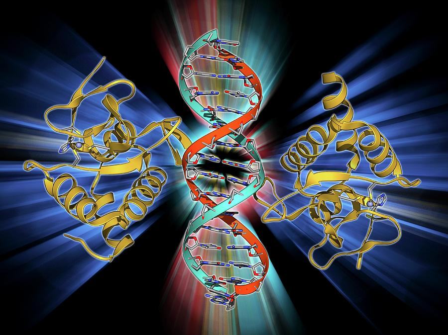 Alpha Helix Photograph - Smad4 Protein Domain Bound To Dna by Laguna Design