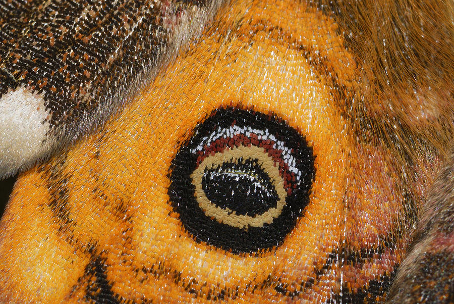 Small Emperor Moth Eyespot On Wing Photograph by Thomas Marent