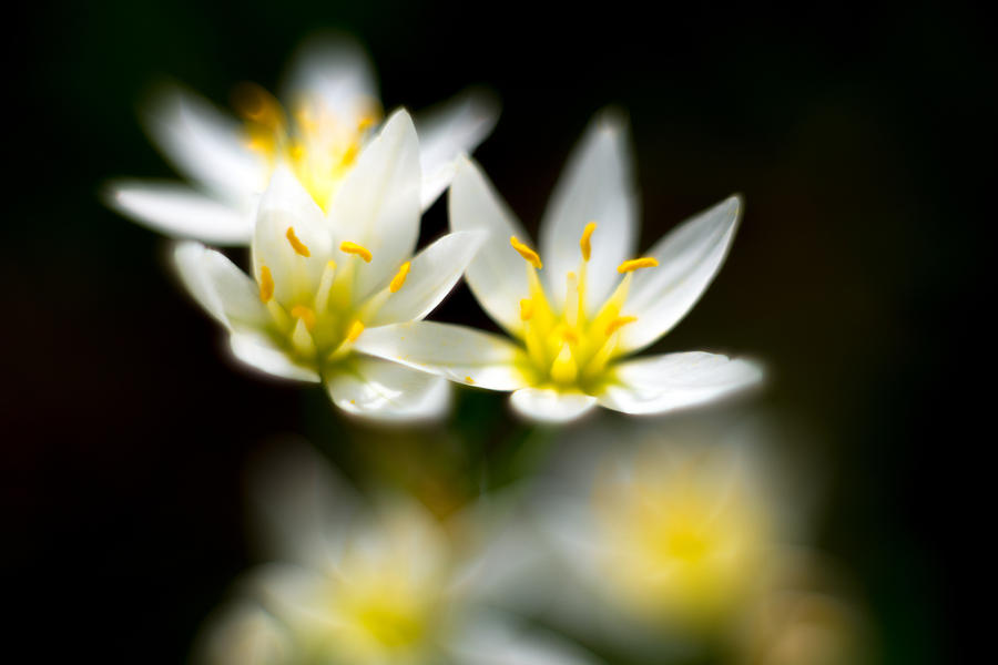Small White Flowers by Darryl Dalton