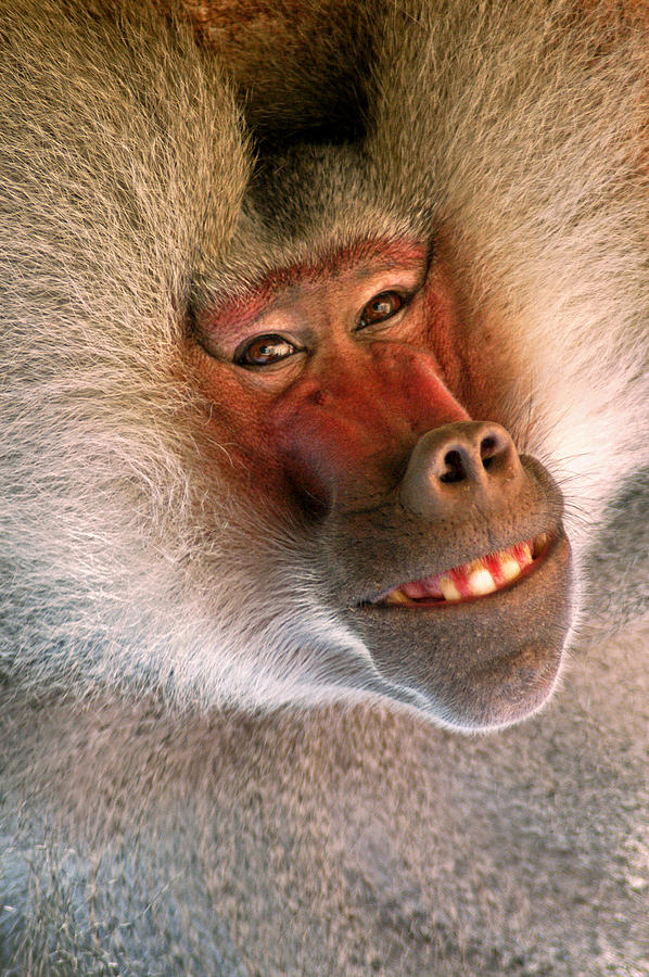 https://images.fineartamerica.com/images-medium-large-5/smiling-baboon-don-johnson.jpg