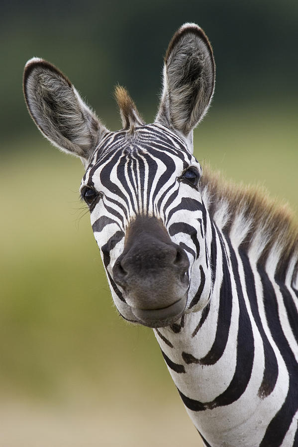 Mp Photograph - Smiling Burchells Zebra by Suzi Eszterhas