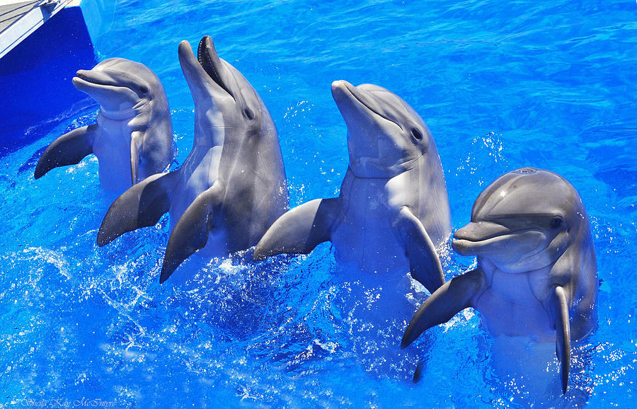 Smiling Dolphins by Sheila Kay McIntyre
