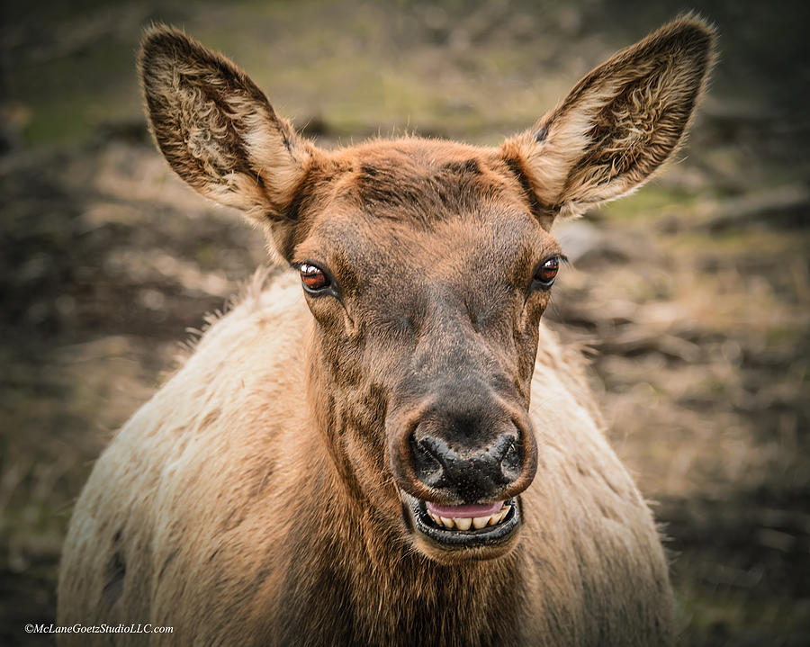 Animals Photograph - Smiling Elk by LeeAnn McLaneGoetz McLaneGoetzStudioLLCcom