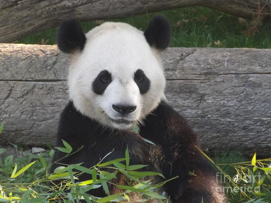 Nature Photograph - Smiling Giant Panda by Lingfai Leung
