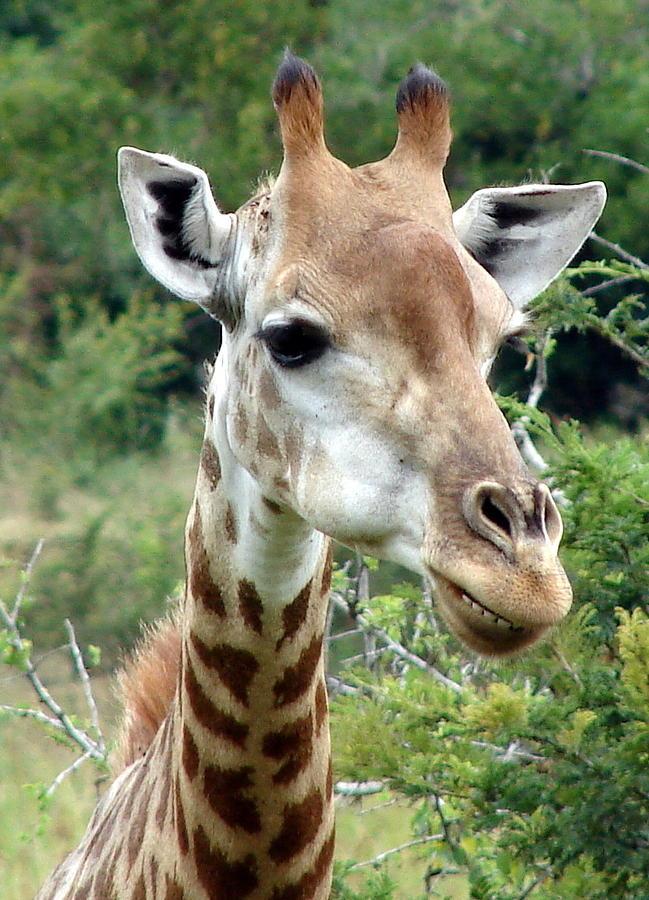 Giraffe Photograph - Smiling Giraffe by Ramona Johnston
