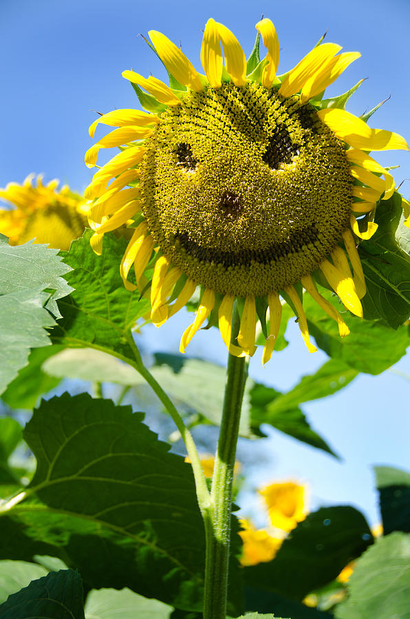 Sunflower Photograph - Smiling Sunflower by Donna Doherty