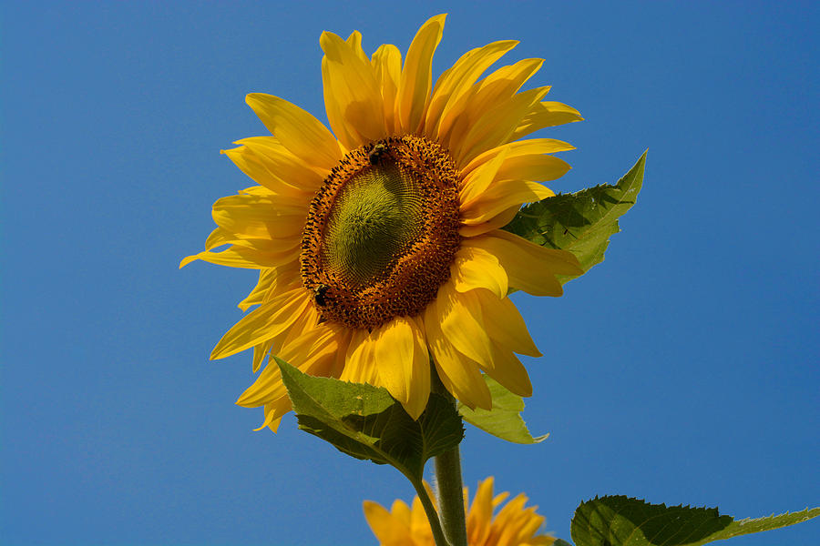 Flower Photograph - Smiling Sunflower by Nancy De Flon