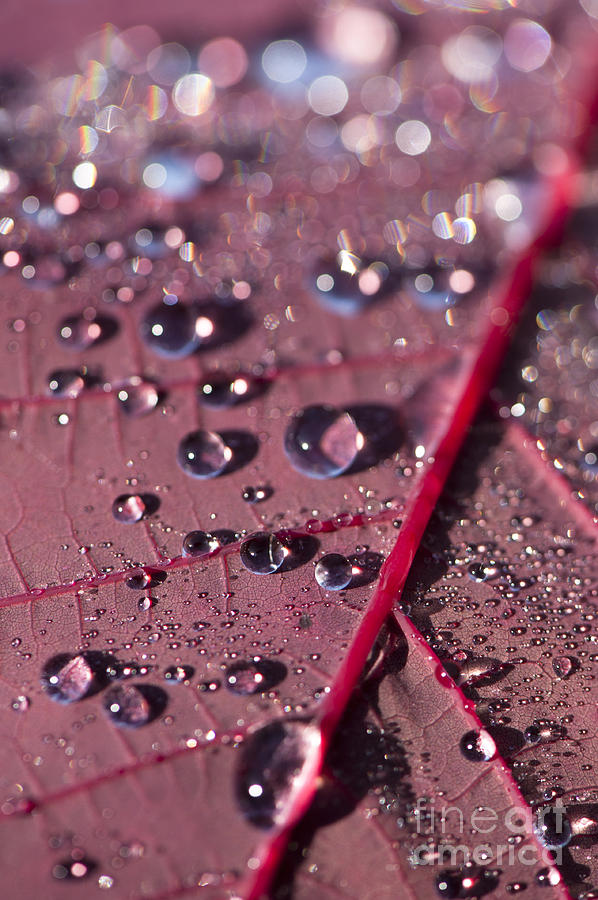 Abstract Photograph - Smoke Bush Droplets by Anne Gilbert