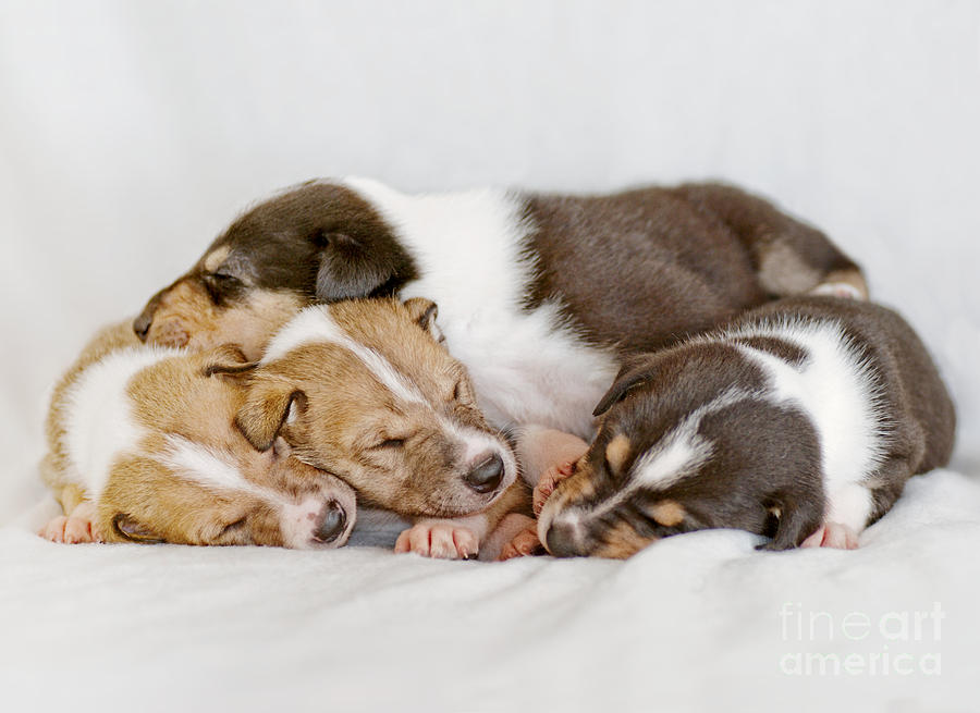 Collie Photograph - Smooth Collie Puppies Taking A Nap by Martin Capek
