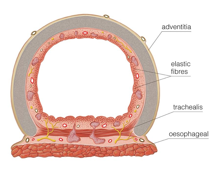 Smooth Muscle In Tracheal Wall Photograph by Asklepios Medical Atlas