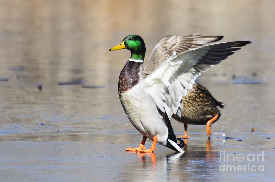 Smug Mallard Duck Stands Tall by Ilene Hoffman