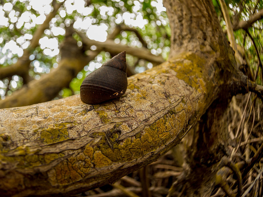 Tropical Photograph - Snail by Carl Engman
