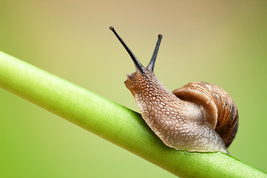 Snail On Green Stem Photograph