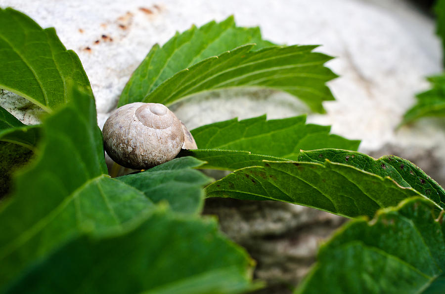 Animal Photograph - Snail Shell by Chase Taylor