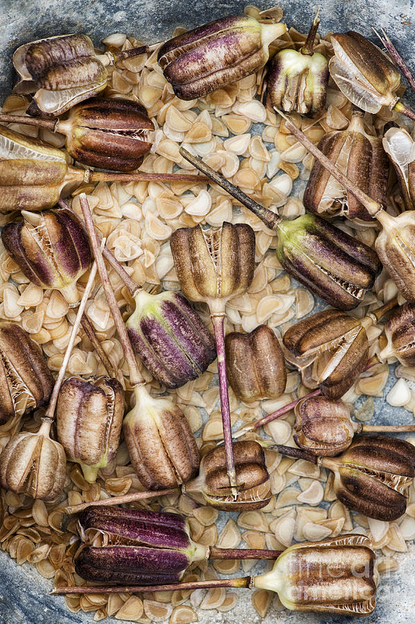 Pattern Photograph - Snakes Head Fritillary Flower Seeds Pattern by Tim Gainey