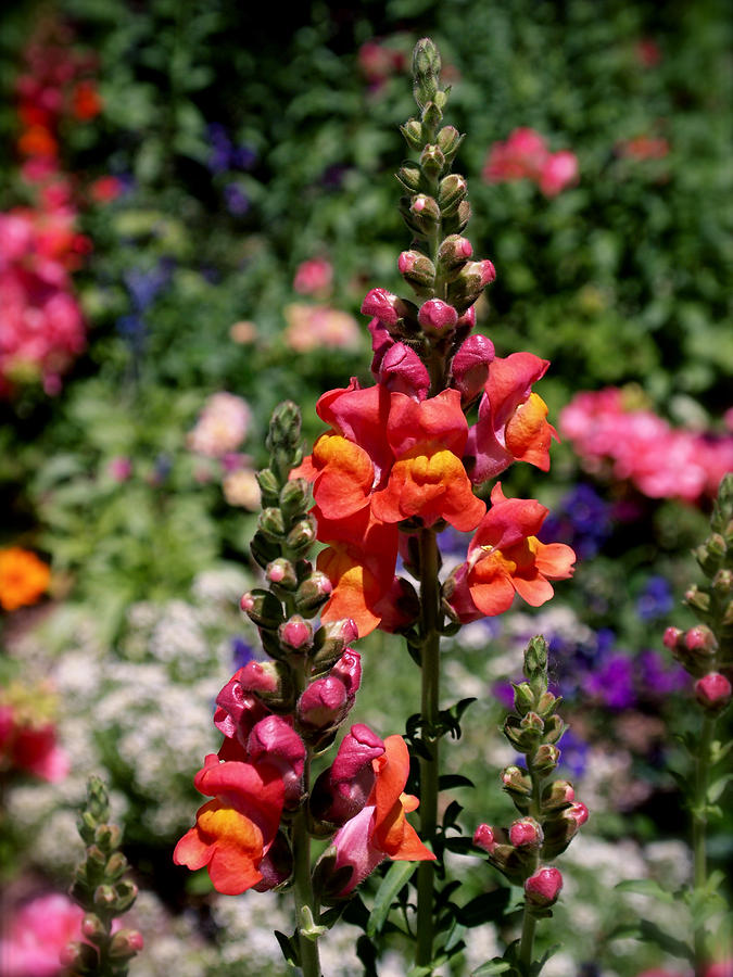 Snapdragons Photograph - Snapdragons by Rona Black