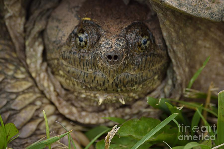 Turtle Face Photograph - Snapper by Randy Bodkins