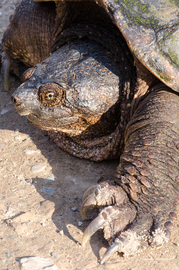 Fauna Photograph - Snapping Turtle by Thomas Pettengill