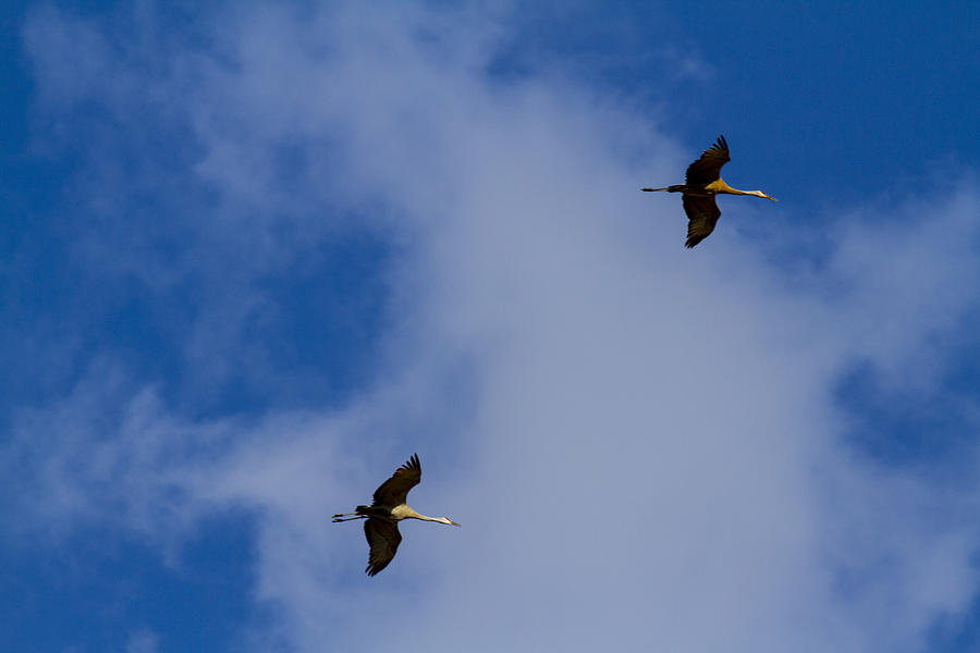Sndhill Cranes In Flight Photograph