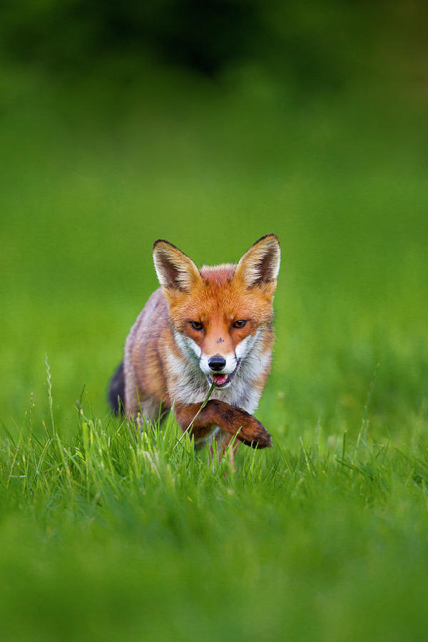 Sneaky Red Fox Vulpes Vulpes Photograph by Mark Smith