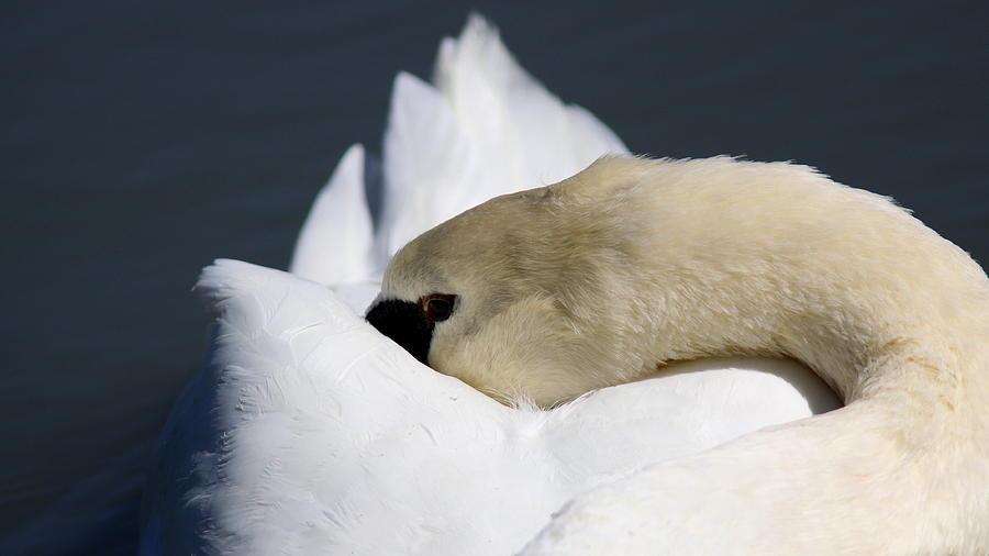 Swan Photograph - Snoozer - Swan by Travis Truelove
