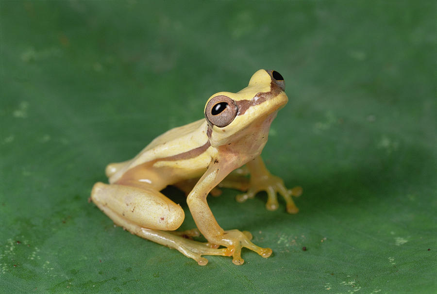 Snouted Treefrog  Galapagos Photograph by Mark Moffett