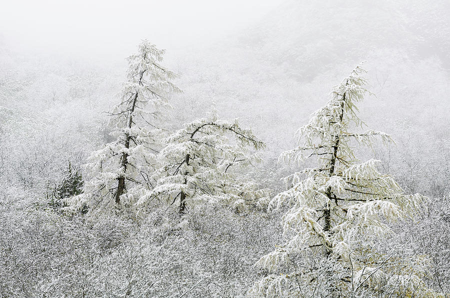 Snow And Fog Covering Trees On A Photograph by Sergey Orlov / Design Pics