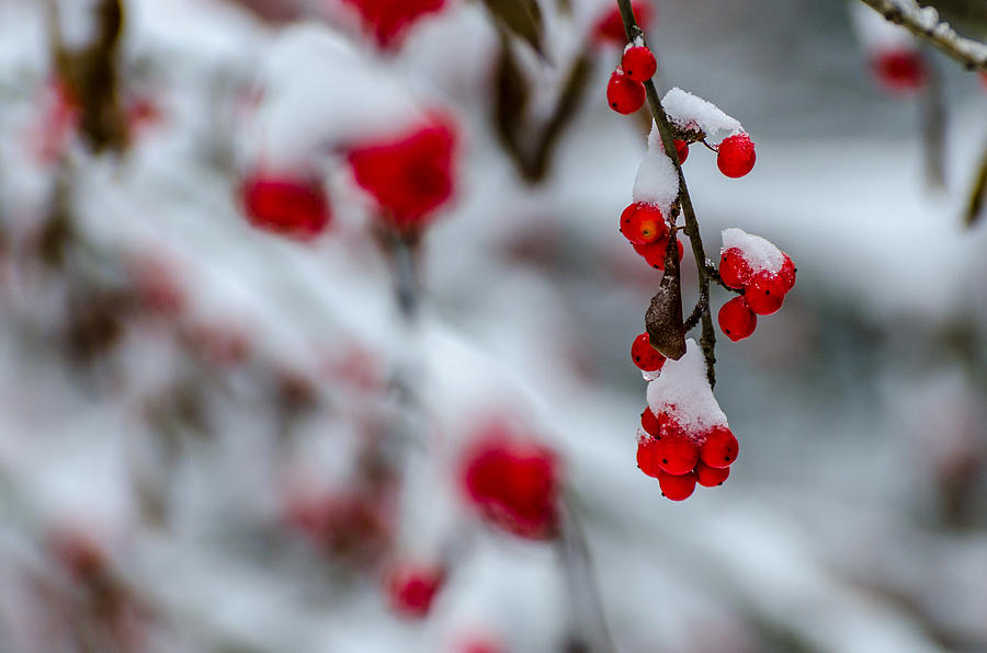 Snow And Red Berry Photograph By Raghu Ramaswamy