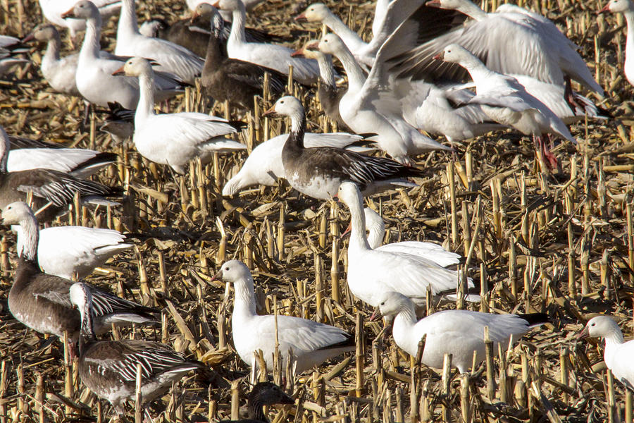 Snow Geese Photograph - Snow and Rosss Geese by Jill Bell