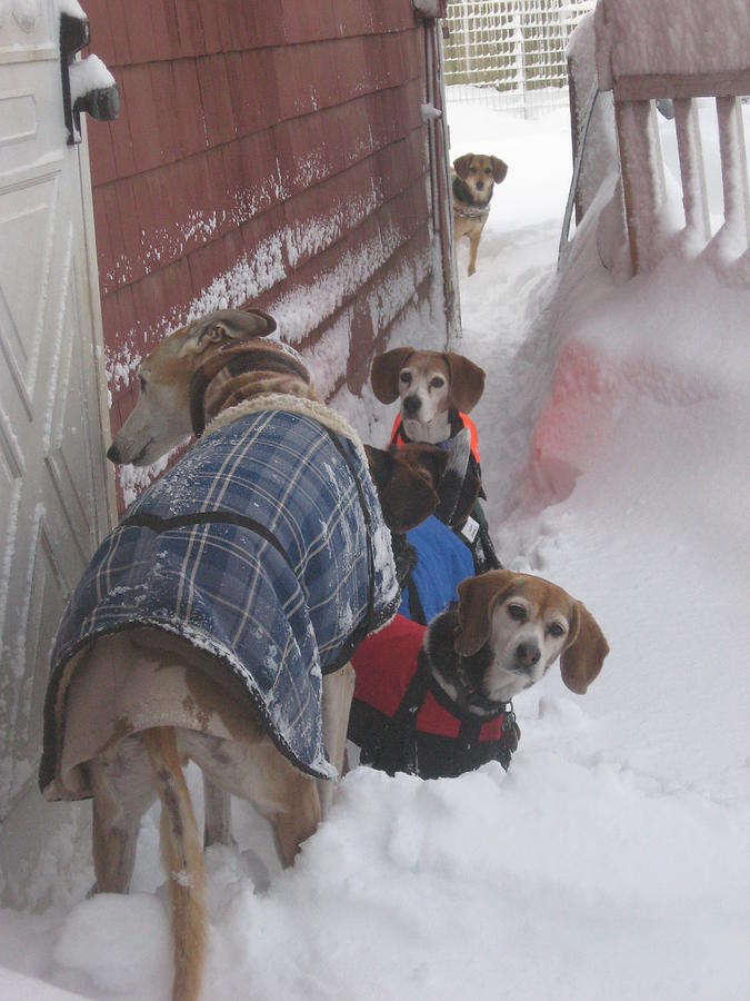 Beagles Photograph - Snow Angels by Leslie Manley