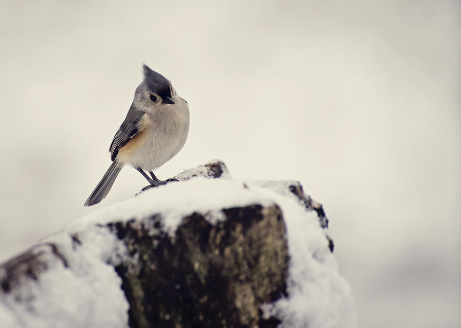 Tufted Titmouse Photograph - Snow Bird by Heather Applegate