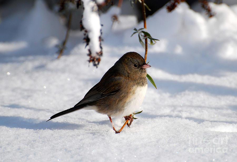 Snow Bird Photograph By Todd Hostetter