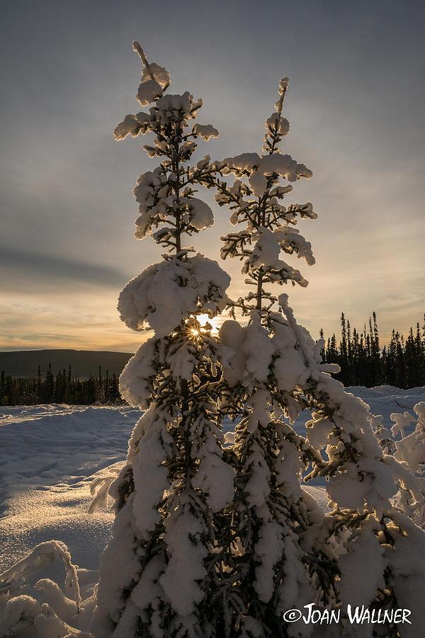 Alaska Photograph - Snow Capped sitka Spruce by Joan Wallner