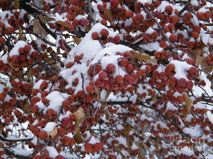 Snow covered Berries by Ronda Douglas